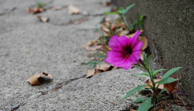 A lone beautiful flower grows in concrete