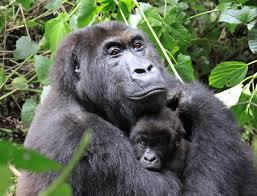 A Great mountain gorilla ape with her infant at Virunga National Forest